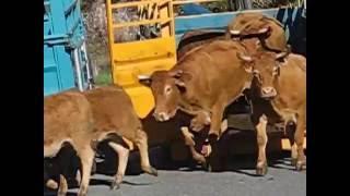 Les transports de bovins en AVEYRON...