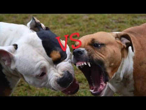 Dogo Argentino vs Bullmastiff Dog Comparison by Dog Tubed