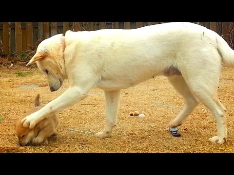 [50] 강아지 젖 떼려는 매정한 엄마개와 미어캣 처럼 망루에서 집지키는 아빠 진돗개/ Cold-hearted mother dog & father dog like a meerkat