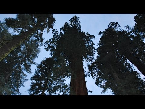QUEST: Giant Sequoias Face Drought