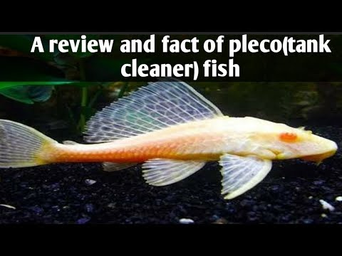 A Review And Fact About Plecofish(tank Cleaner)