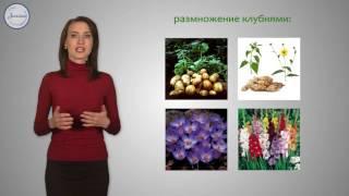 18  Биология 6 кл  Вегетативное размножение