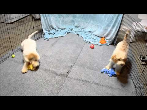 Adhonay's Blondie and Ezra, Australian Labradoodles