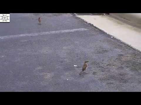 Smithfield BBQ Birds