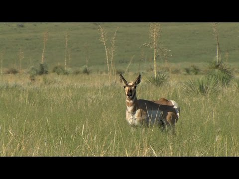 A Triumph for Pronghorn Antelope
