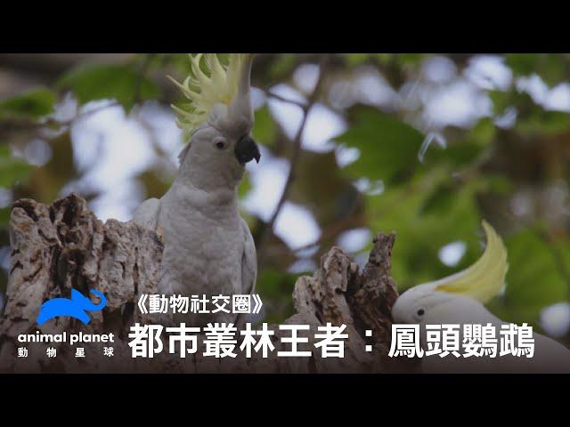 那一天,人類想起了被鳳頭鸚鵡統治的恐懼? 動物星球頻道