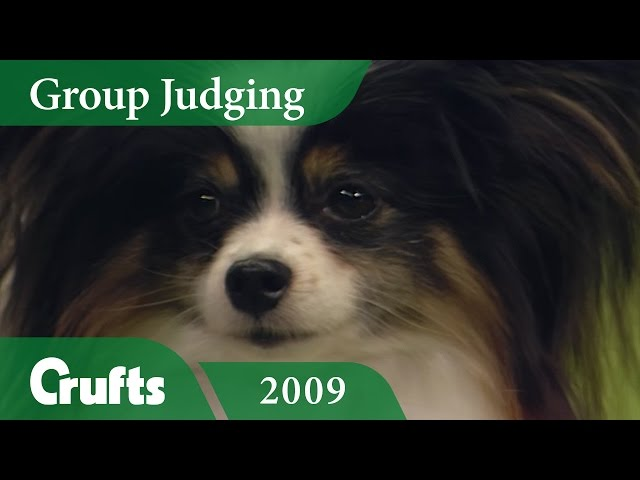 Papillon wins Toy Group Judging at Crufts 2009 | Crufts Classics