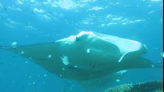Manta Cleaning Micronesia Yap ヤップ島 検索動画 32