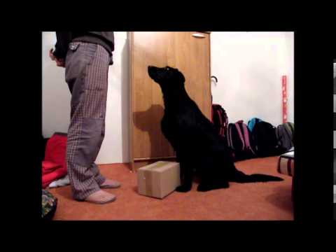 Clicker Training with Flat Coated Retriever