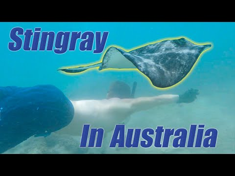Swimming With Huge Stingrays In Australia!!