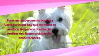 Raza De Perros, Dandie Dinmont Terrier