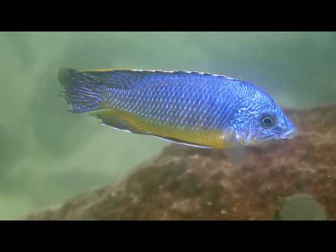 Diving and Catching cichlids in Lake Malawi 2019