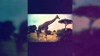 Слайд шоу. Жираф. HD видео