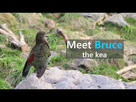 Self‐care tooling innovation in a disabled kea (Nestor notabilis)