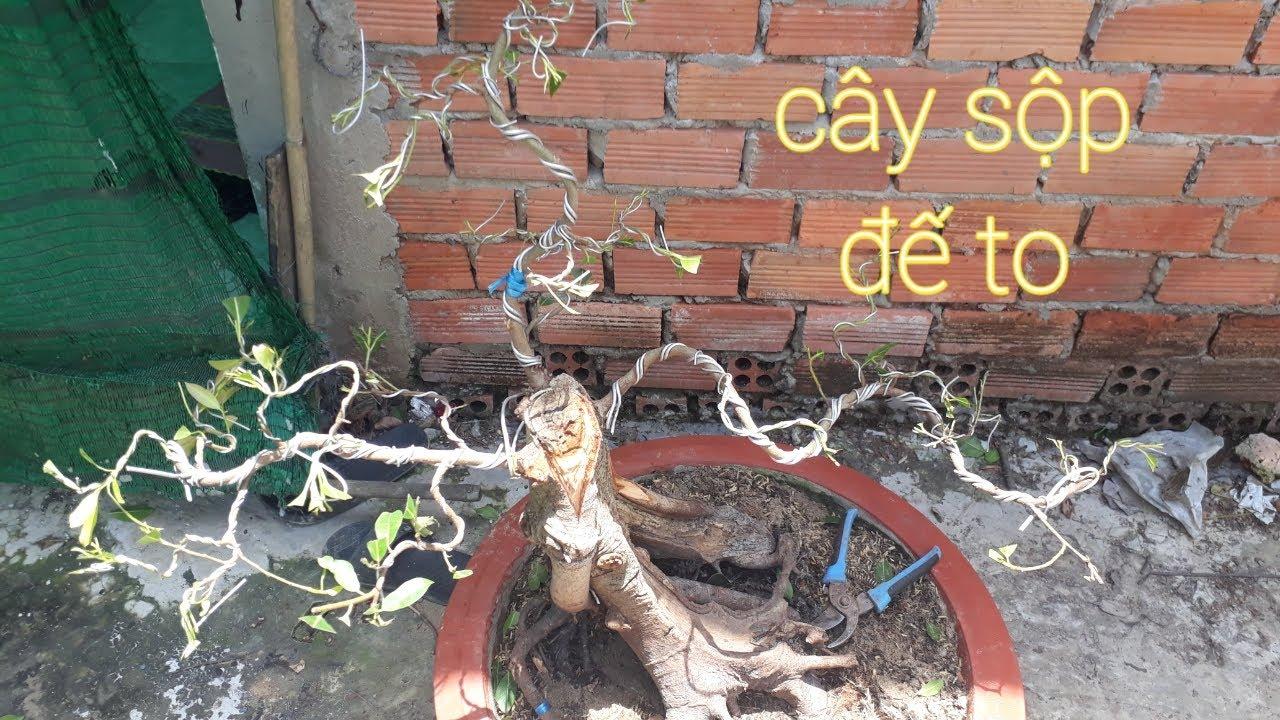 Uốn tạo dáng cây sộp bonsai