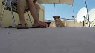 Foxy's Food Training! - Part 2 - Pembroke Welsh Corgi Puppy