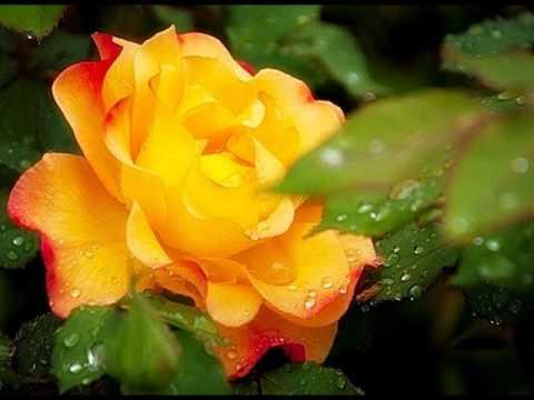เพลงบรรเลงขลุ่ยใจรัก ประกอบภาพดอกกุหลาบ