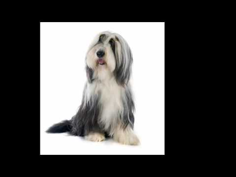 Bearded Collie Puppy Dog