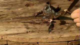 How to skin and clean a frog