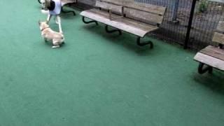 サルーキのサラちゃん フレンチブルドッグと仲良く遊びます。