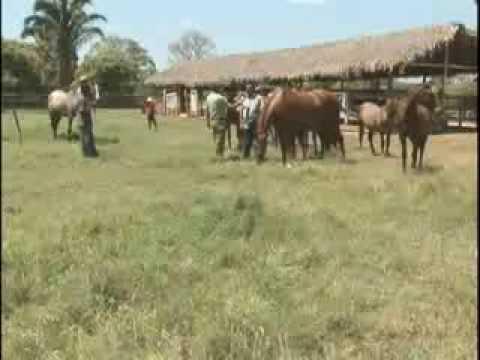 Piauí Que Trabalha mostra rebanho de cavalos quarto de milha