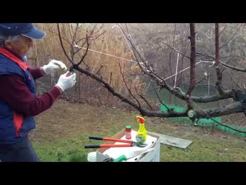 Potatura del melo curvatura dei tralci e disinfettazione for Potatura del melo