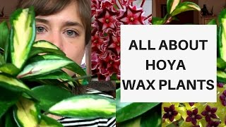 All About Hoya Wax Plants