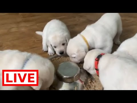 LIVESTREAM - Puppy cam!! - 28 day old Adorable Lab puppies playing & feasting!
