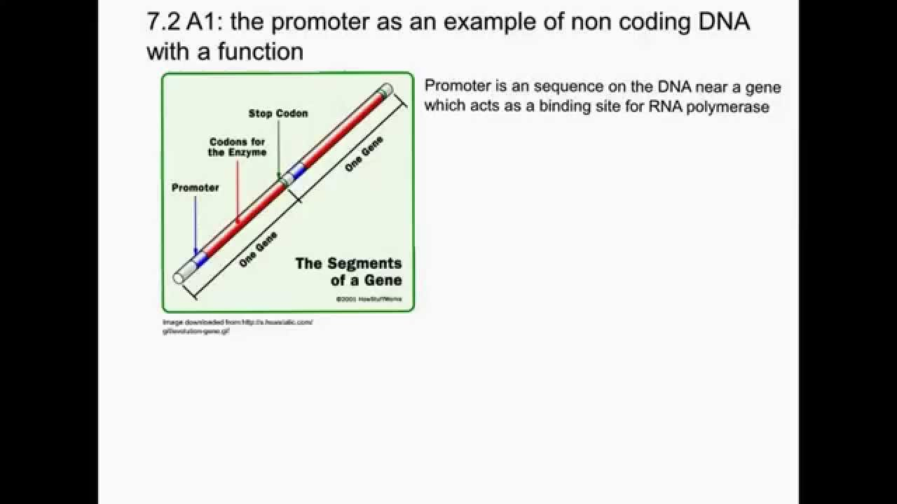 72a1 The Promoter As An Example Of Non Coding Dna With A Function