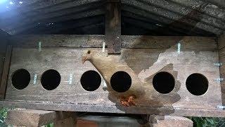 Chuồng bồ câu gỗ - Tự làm chuồng chim bồ câu bằng gỗ | CDL