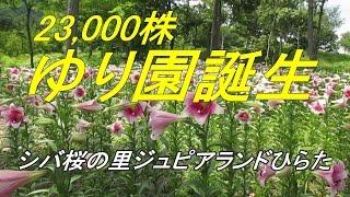 シバザクラのジュピアランドひらた2万3千株ゆり園誕生[蓬田岳ふもと]