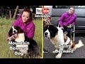 Anjing Saint Bernard & Bernese Mountain Dog - Benigna Kennel