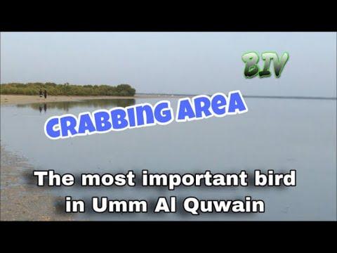 EXPLORING THE CRABBING AREA   MIGRATORY BIRDS IN UMM AL QUWAIN UAE   BIV
