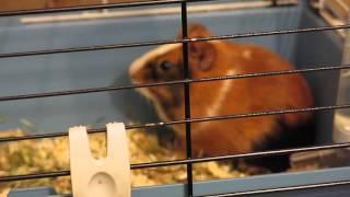 Люся слушает запись звуков морской свинки