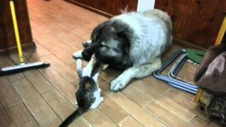 Кошка vs Кавказская овчарка