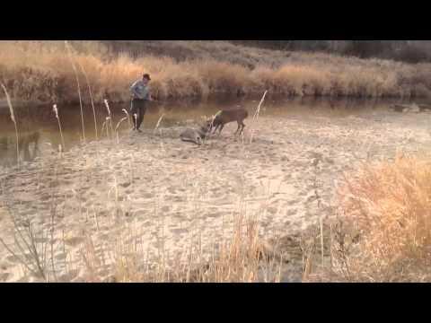 Deer locked together on the Republican River in Nebraska