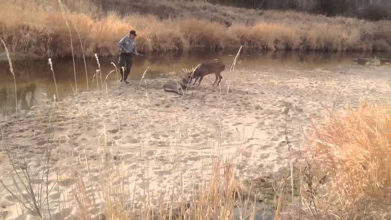 Deer Locked Together On The Republican River In Nebraska