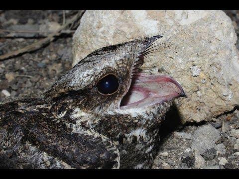 European Nightjar (Caprimulgus europaeus)  Γιδοβύζι - Cyprus