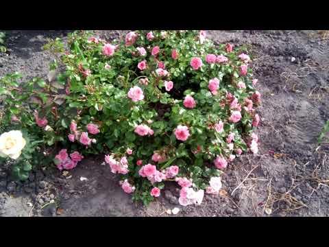 Роза Четыре сезона. Почвопокровная роза. Начало цветения.