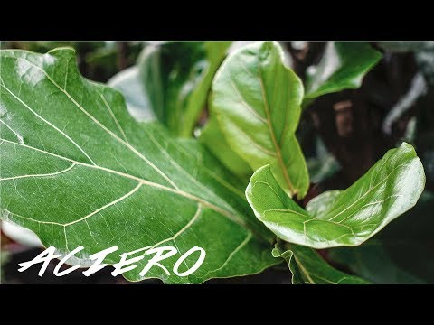 HOW TO PROPAGATE FIDDLE LEAF TREE PLANT IN WATER