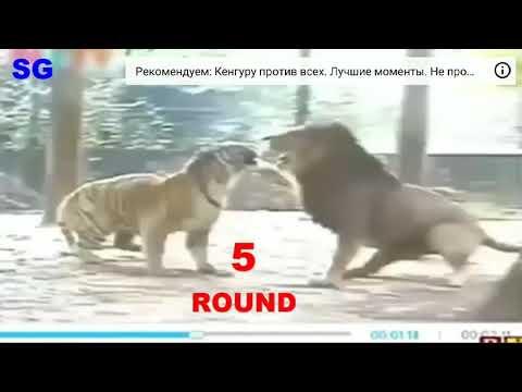 Тигр против Льва победил 🐅 посмотрите