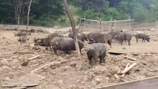 OTN뉴스, 대전 계족산 무허가 돼지농장에서 돼지 힘겨루기