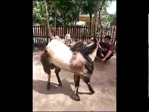 kambing-terbesar-di-dunia