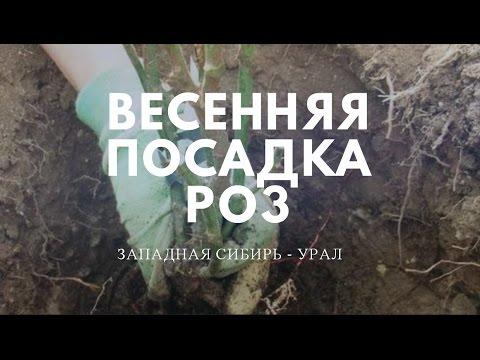 Весенняя посадка роз. Урал -Западная Сибирь.