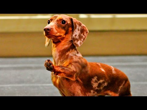 Dogs & Puppies Smart Tricks #115