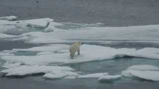 Polar Bear Hunting Seals north of Svalbard  (Spitsbergen, MS Expedition, 2013)
