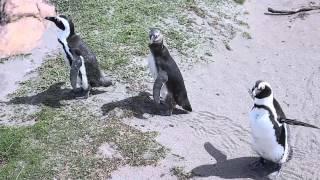 Южно-Африканская республика, пингвины