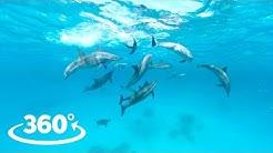 Wild Dolphins VR / 360 Video Experience