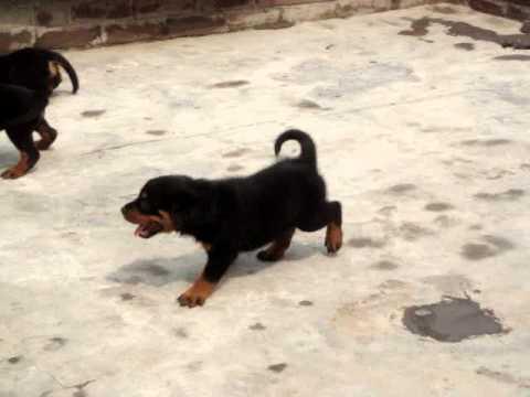 Vishal S Rottweiler Pups For In Delhi