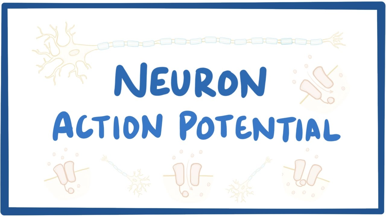 Neuron action potential - physiology